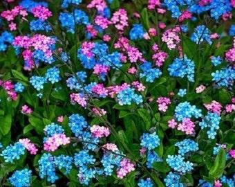 60+ Blue and Rose Forget-Me-Not Myosotis / Perennial Flower Seeds