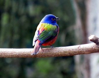 Male Painted Bunting, yes they look like they are painted! Photograph.