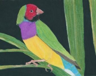 Gouldian Finch, Australian Wildlife Art, A4 Print of pastel painting