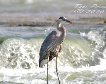 Great Blue Heron    #d-30