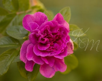 Wild Rose Fine Art Print