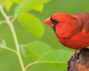 More Cardinal Notecards