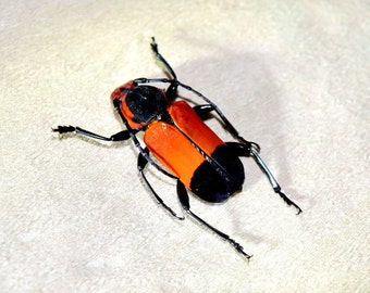 Beautiful cerambycidae sp - real insect - curiosity - oddities - taxidermy insects - beetle - dried insects - bugs - insect collection