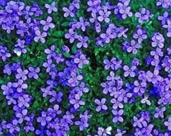 Aubrieta Deltoidea Royal Blue 120 Seeds