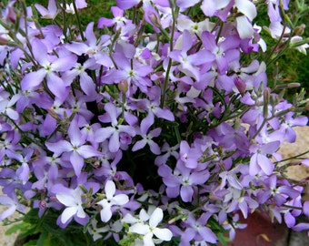 Night Scented Stock 300 Seeds, Matthiola-Pollinator,Scented, Must have