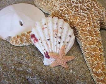 Spotted Seashell With Sugar Starfish Hair Barrette- Mermaid Hair