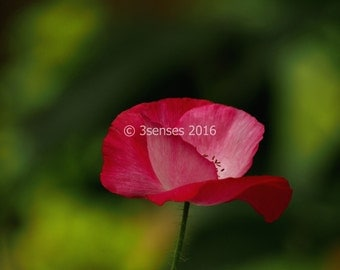 Fine Art Photograph 'Pink Poppy'