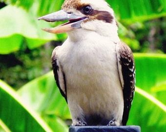 Kookaburra Photo Print 5x5 Bird Photograph - Animal Photography Home Decor - Australian Wildlife