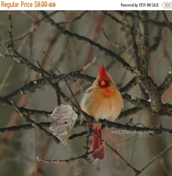 40% OFF SALE Christmas Holiday Decor, Small Cardinal Photo, Bird Photograph, Nature Picture, Red, Grey, Black, Branches, - 4x4 inch Print