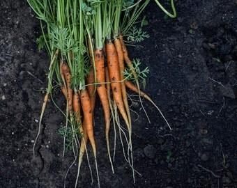 8x12 Carrots, kitchen art, dining art, garden art, foodie