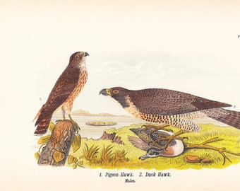 1890 Audubon Bird Print - Pigeon Duck Hawk - Vintage Antique Book Plate for Natural Science or History Lover Great for Framing 100 Years Old