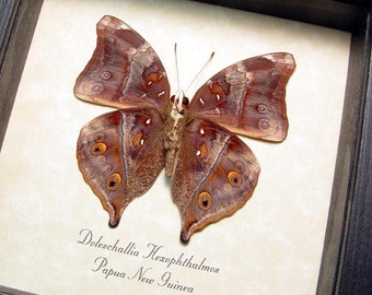Real Doleschallia Hexophthalmos The Autumn Leaf or Leafwing Framed Butterfly 343