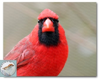 Cardinal Photograph 8x10 Fine Art Red Bird Portrait North Carolina Songbird Gift for Bird Lover Natural Nature Wall Decor