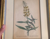 Antique botanical plate by W Curtis 1790