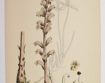 Vintage Botanical Flower Print, 1866 Sowerby Botanical Print, Brown Yellow BroomRape, Antique Garden Gift for Her, Antique Botanical Print