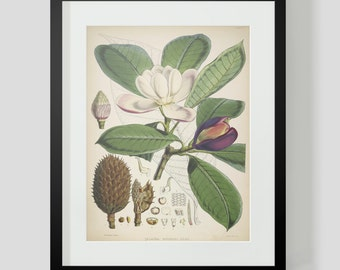 Botanical Illustration Himalayan Plate VI (6)