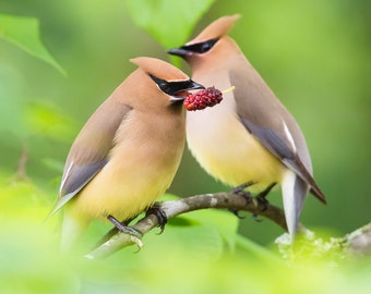 Bird Art - Cedar Waxwings – Square Version