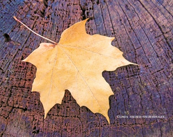 Yellow Maple Leaf on Tree Trunk Nature Fall Wall Art Home Decor Digital Download Fine Art Photography by Linda Fischer of Fischerimages