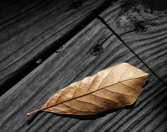 Fallen Autumn Magnolia Leaf on Gray Wood Planks of a Backyard Deck No.1620 A Fine Art Nature Photograph