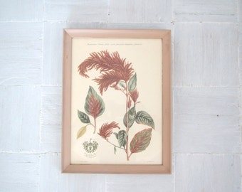 Vintage botanical print/Amaranthus/ E. Kirkhall/London/pink and green
