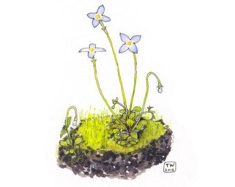 Bluets, Watercolor Botanical Illustration, Postcard