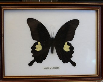 A Framed Moth mounted