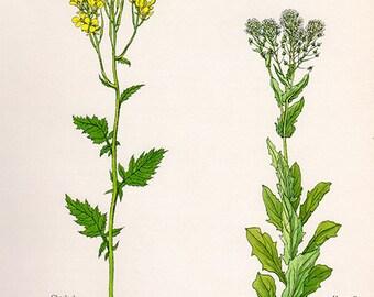 ANTIQUE BOTANICAL PRINT flowers and plants 30