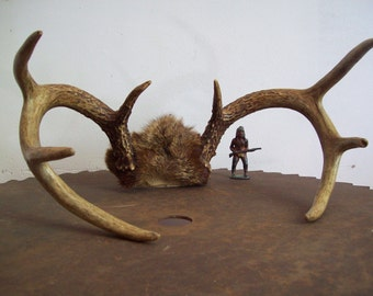 Vintage white tail deer antlers 8 point with cap