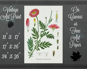 Chrysanthemum Botanical Print / Canvas Fabricor Fine Art Paper / Vintage Art
