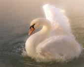 Swan Photography/Swan Print/Swan Imagery/Bird Photography/Nature Photography/Swan Art/Florida Wildlife/FREE SHIPPING