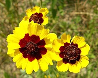 Heirloom 500 Seeds Plains Coreopsis tinctoria Tickseed Garden Flower Bulk Seed A0028
