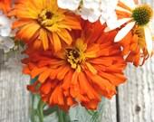 Orange Zinnias, Cactus Zinnia 'Inca', Heirloom Zinnias, Great for Cut Flower Gardens and Butterfly Gardens