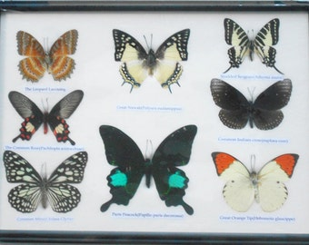 REAL 8 BEAUTIFUL  BUTTERFLY Collection in Frame / BF20z