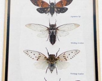 5 Real CICADA Insect Taxidermy Collection in wooden box / inf07B