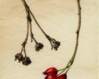 Rosehips on natural vellum