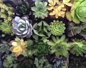 Succulent Plants 36 Plant Assortment