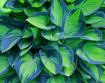 Hosta (FREE shipping in the U.S. only)