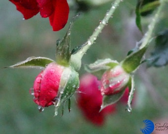 Red rose tear drops