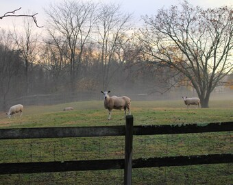 Sheep Instant Digital Download Photo Photography Blue Faced Leicester Ram Pasture