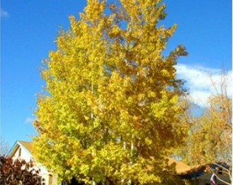Quaking Aspen Tree Seeds, Populus tremuloides - 25 Seeds