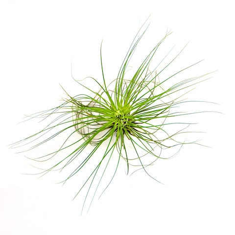 Filifolia Air Plants 30 Day Guarantee Air Plants For