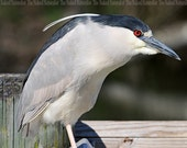 Black-crowned Night-Heron, Nature Photography, Birds, Fine Art, Avian, Wooden Posts, Maryland, Feathers, Gray
