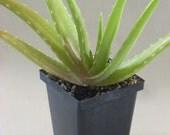 Aloe vera Plant Medicinal Live Potted