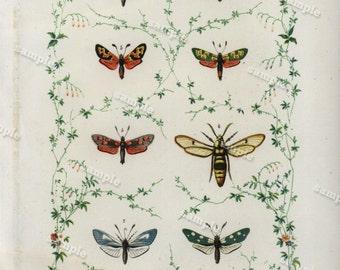 1852 Antique colored  Lithograph loaded with Moths  Original Chromplithograph -papillon- Decorative art- wall art- art decor