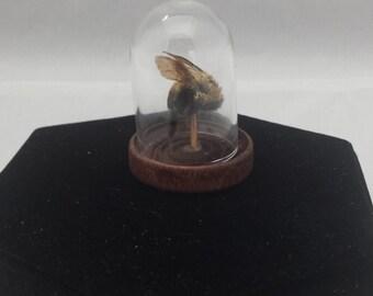Taxidermy Carpenter Bee in a miniature Glass Dome