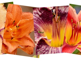 Daylily Note Card Variety Pack, Blank Greeting Cards