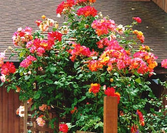Climbing yellow pink roses,387, pink yellow rose,roses seeds,planting roses,growing roses from seeds