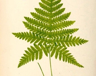 EJLOWE POLYPODIUM HEXAGONOPTERUM Fern - Plate No. 49, Vol. I of The Natural History of British & Exotic Ferns, by E.J. Lowe - Digital Print