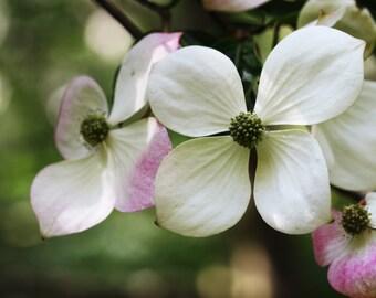 Beautiful Dogwood Blossom... Fine Art Photographic Blank Greetings Card