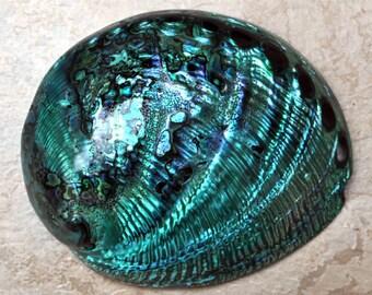 """Polished Turquoise Abalone (5-6"""") - Haliotis Midae"""